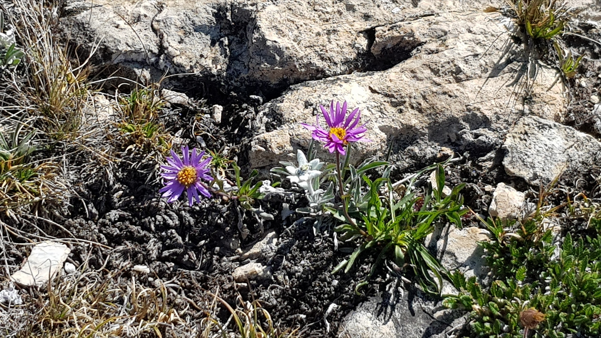 Engadine, Val Fex, Flowers and Edelweiss