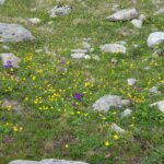 Engadine, St. Moritz, above Hahnensee, Mountainflowers