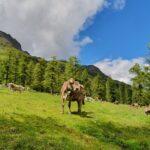 Engadine, parallel Valley Sertig, Ducanbach, Wasserfall, Cows